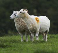 Two exmoor sheep