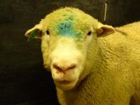 bluetonguesymp