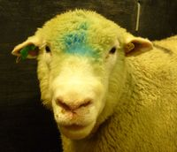 Sheep with swelling of the head and mouth