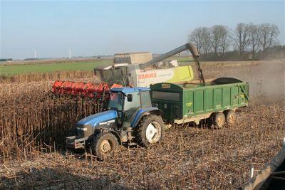 harvesting sunflowers 2