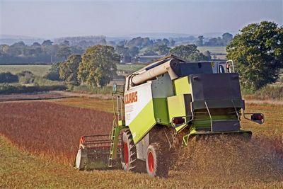 harvesting buckwheat