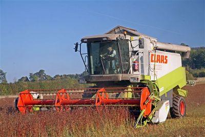 harvesting buckwheat 2