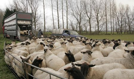 Lambs being loaded into vehicle