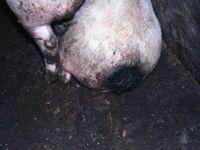 Severely tail bitten pig requiring euthanasia