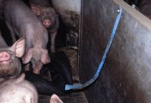 Alcathene piping can be a useful toy for pigs on s