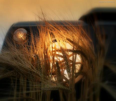 barley UGC