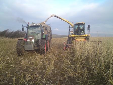 maize harvesting in January UGC