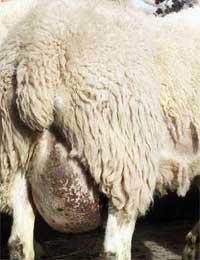 ewe with chronic mastitis