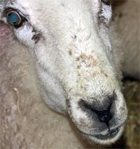 ewe pouching feed