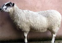 ewe with pulmonary adenomatosis