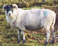 ewe with johne