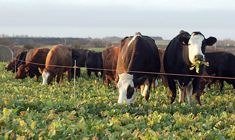 Outwintering-cattle
