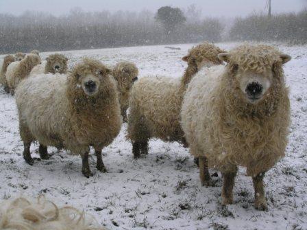 Greyface Dartmoor sheep in snow