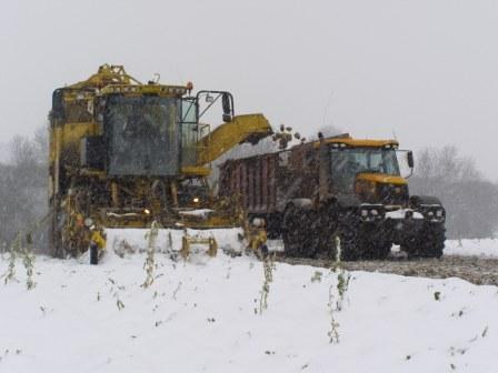 beet harvesting in snow