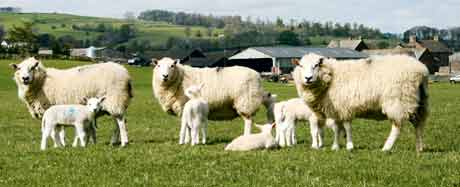 Lowther-sheep-003
