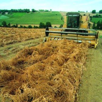 sugar beet seed harvest