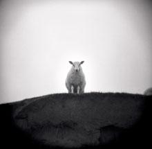 rex_sheep