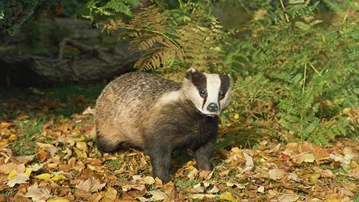 Badger-TB