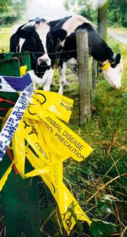 cows-+-f+m-tape