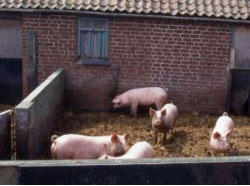 gilts-in-yard