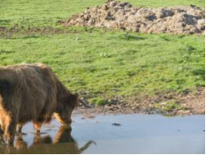 cow-w-water-+-dry-stone