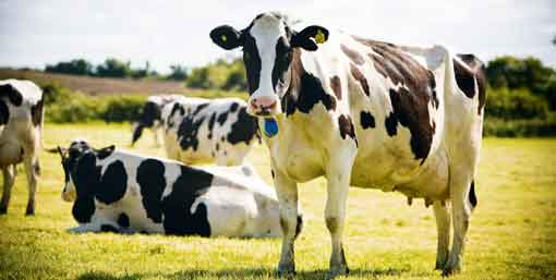 dairy-cows-at-grass