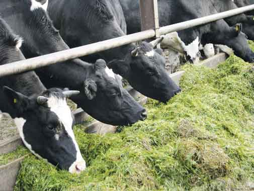 grass-cows-eating