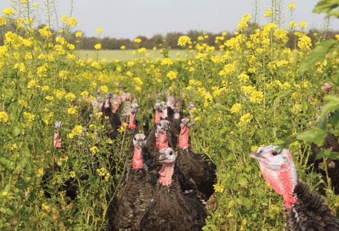 TNP turkeys
