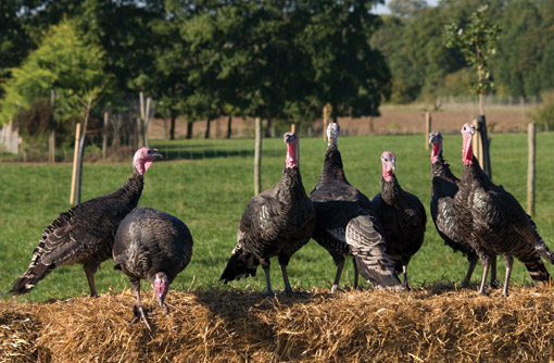 Peach-Croft-Farm-turkeys