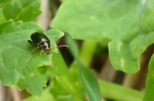 Cabbage stem flea beetle