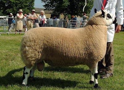 3 counties sheep champ 05