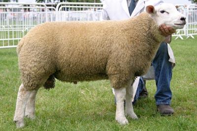 east of england sheep 05