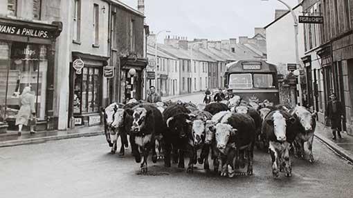 Dillwyn,-left,-herding-cattle-into-Bridgend-town-c