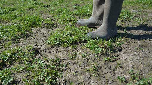 Waterlogged ground remains too soft to graze, with buttercups thriving better than grass.