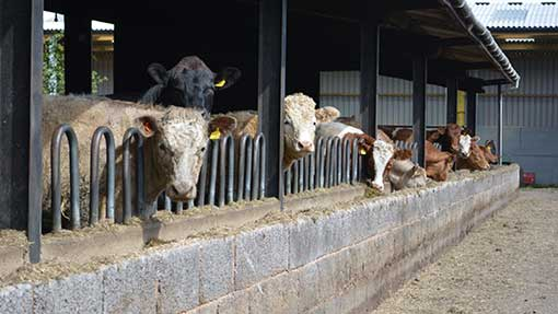 After two months, the cattle have finally returned to West Yeo Farm, Moorland.