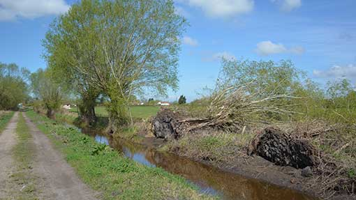 Winter storms uprooted these willows trees, which must now be cleared.