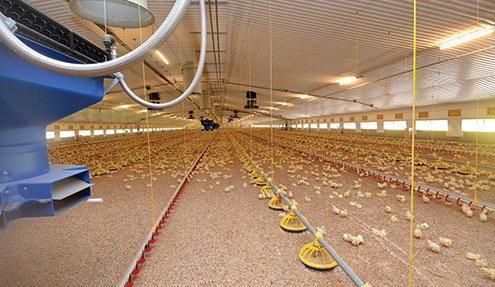 Underfloor heating in poultry shed