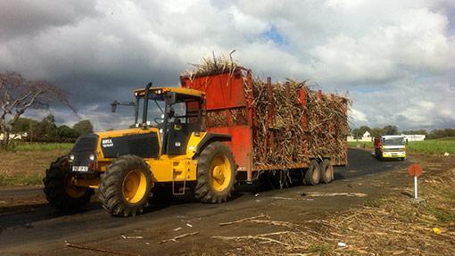 Hauling-harvested-cane