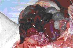 pig disease1.5