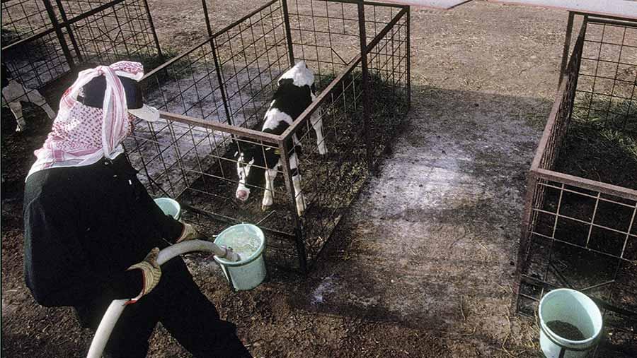 Worker giving calf water at Al Safi Dairy, Saudi Arabia