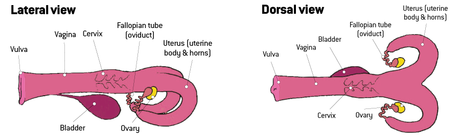 Dorsal and lateral view of a cow's internal reproductive organs