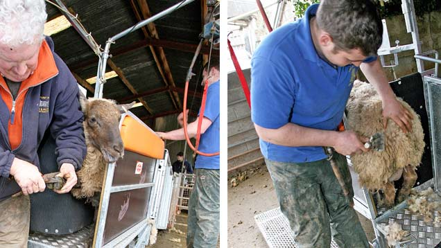 Sheep being foot-trimmed and dagged in the Ritchie Combi Clamp