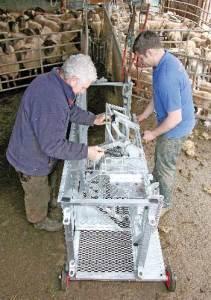 Farmers working at a sheep crush