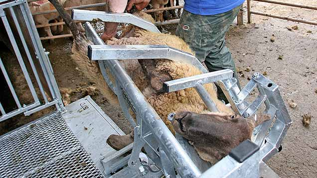 A sheep being turned in the Bateman Standard Sheepvet Turnover Crate