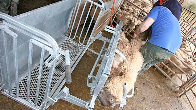 A sheep being turned in the Ritchie Sheep Turnover Crate
